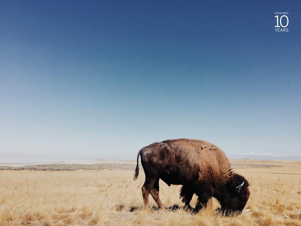 bison ippa