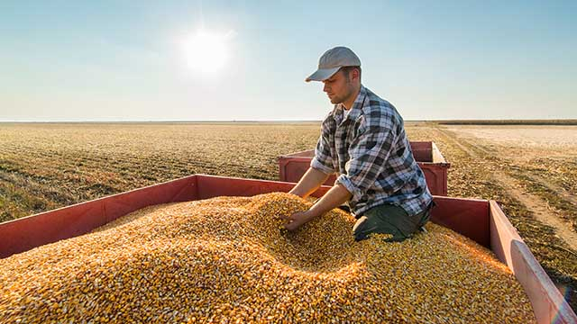Farmer looking at corn grains