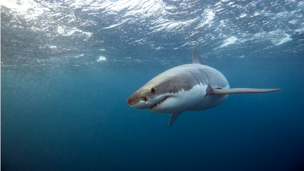 meet the crew tracking great white sharks to solve an ecological
