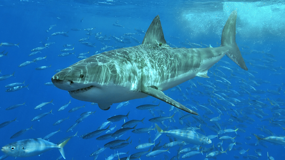 White Shark Café: Discussion & Live Broadcast